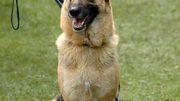 256px-German_Shepherd_Dog_sitting_leash